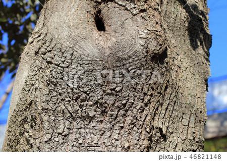スダジイ(ブナ科 )木肌・木膚・木のはだ・外皮・樹皮・木目 46821148
