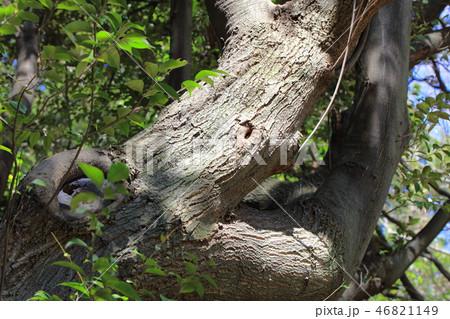 スダジイ(ブナ科 )木肌・木膚・木のはだ・外皮・樹皮・木目 46821149
