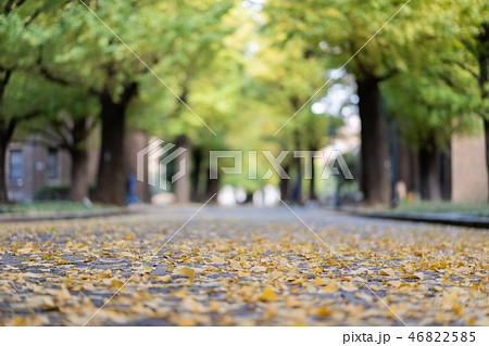 Ginkgo yellow leaves 46822585