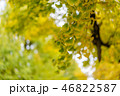Ginkgo yellow leaves 46822587