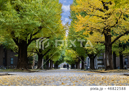 Ginkgo yellow leaves at the University of Tokyo 46822588