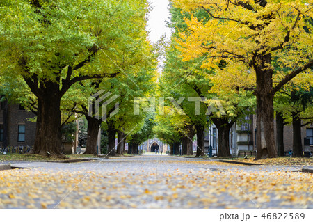 Ginkgo yellow leaves at the University of Tokyo 46822589