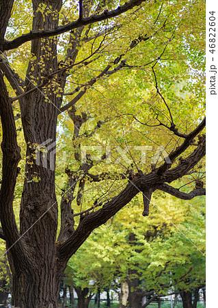 Ginkgo biloba leaf changing color in the ueno park 46822604