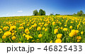 Field with dandelions and blue sky 46825433