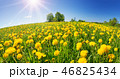 Field with dandelions and blue sky 46825434
