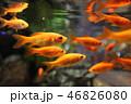 金魚 淡水魚 魚の写真 46826080