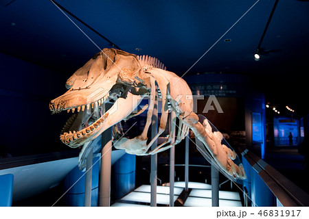 シャチの骨格標本 46831917
