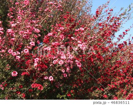 桃色の可愛い花はギョリュウバイ 46836511