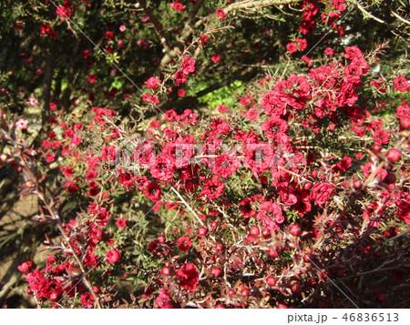 赤色の可愛い花はギョリュウバイ 46836513