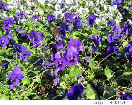 紫色の綺麗なビヲラの花 46836762