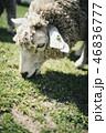 羊が草を食べている顔 46836777
