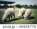 3匹の羊が草を食べている 46836778