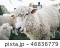 羊が口をモゴモゴしている 46836779
