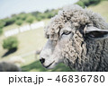 かっこいい羊の横顔 46836780
