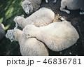 3匹の羊がくっついている 46836781