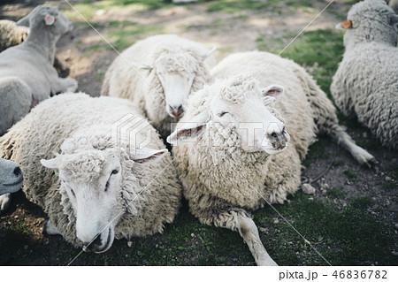 3匹の羊がくっついている 46836782
