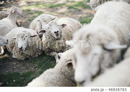 たくさんの羊がいる 46836783