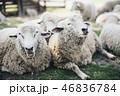 2匹の羊がくっついている 46836784