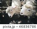 2匹の子供の羊がこちらを見ている 46836786