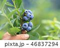 ブルーベリー 果実 収穫の写真 46837294
