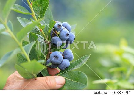 たわわに実ったブルーベリーの実、収穫 46837294