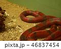 ミルクヘビ 1匹 動物園 46837454