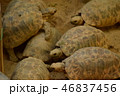ビルマホシガメ 複数個体 俯瞰 動物園 46837456