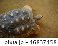 ホウシャガメ 1匹 俯瞰 動物園 46837458
