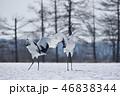 タンチョウ 鶴 ダンスの写真 46838344