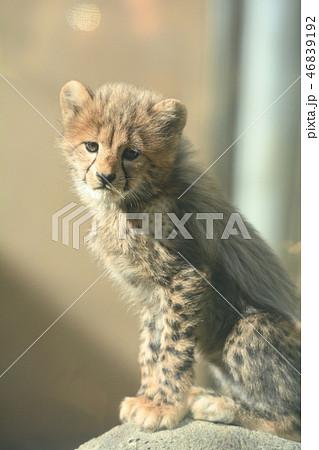 多摩動物公園・チーターの赤ちゃん 46839192