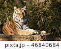 多摩動物公園のトラ 46840684