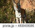 多摩動物公園のトラ 46840686