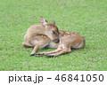 動物 鹿 子鹿の写真 46841050