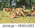 動物 鹿 子鹿の写真 46841083