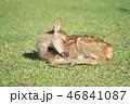 動物 鹿 子鹿の写真 46841087