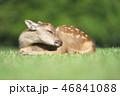 動物 鹿 子鹿の写真 46841088