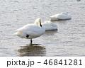 白鳥 鳥 野鳥の写真 46841281
