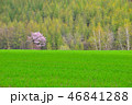 春 桜 美瑛町の写真 46841288