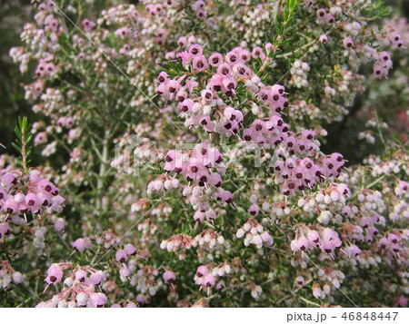 可愛い小さい桃色の花エリカ 46848447