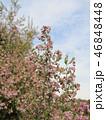 可愛い小さい桃色の花エリカ 46848448