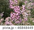 可愛い小さい桃色の花エリカ 46848449