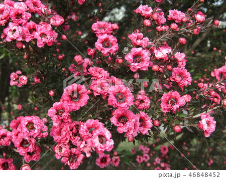 桃色の可愛い花はギョリュウバイ 46848452