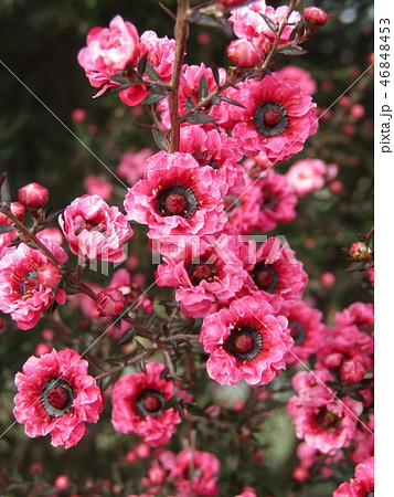桃色の可愛い花はギョリュウバイ 46848453