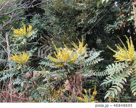 細葉ヒイラギナンテンとも言うマホニアの黄色い花 46848695