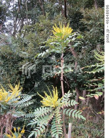細葉ヒイラギナンテンとも言うマホニアの黄色い花 46848696