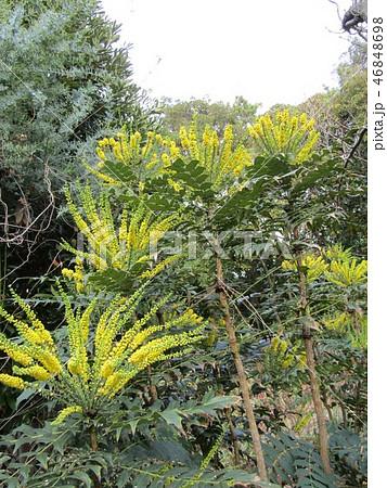 細葉ヒイラギナンテンとも言うマホニアの黄色い花 46848698