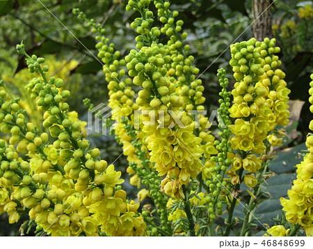 細葉ヒイラギナンテンとも言うマホニアの黄色い花 46848699