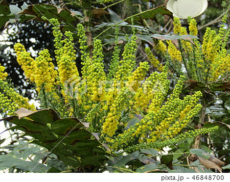 細葉ヒイラギナンテンとも言うマホニアの黄色い花 46848700