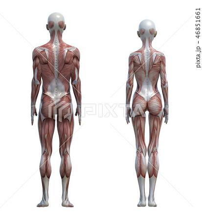 男女の体 比較イメージ 筋肉 イラスト perming3DCGイラスト素材 46851661