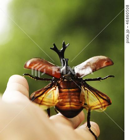 カブトムシ 昆虫 夏イメージ 夏休み 生き物 生物 自然 虫 46860508